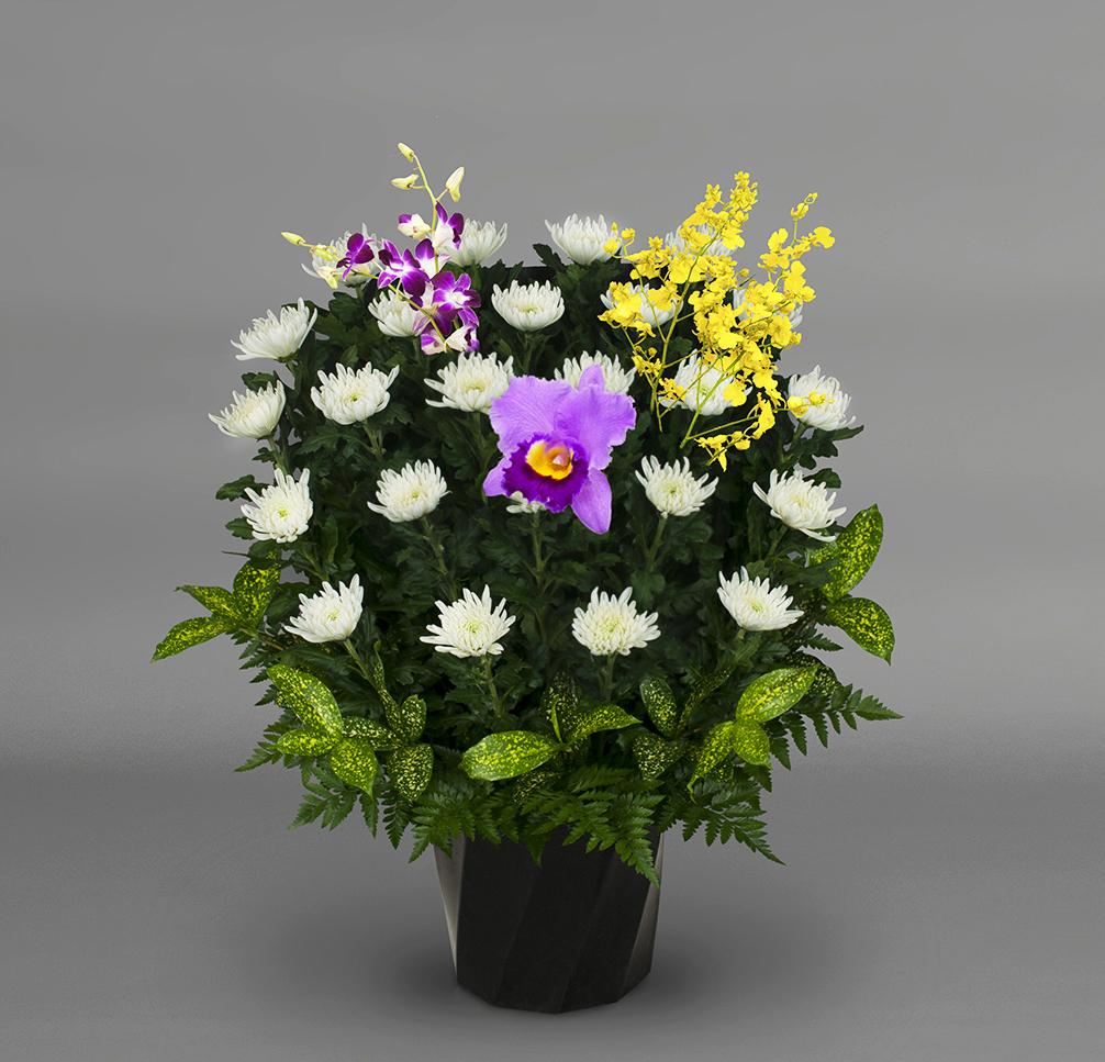 白菊 伝統FY‐1502